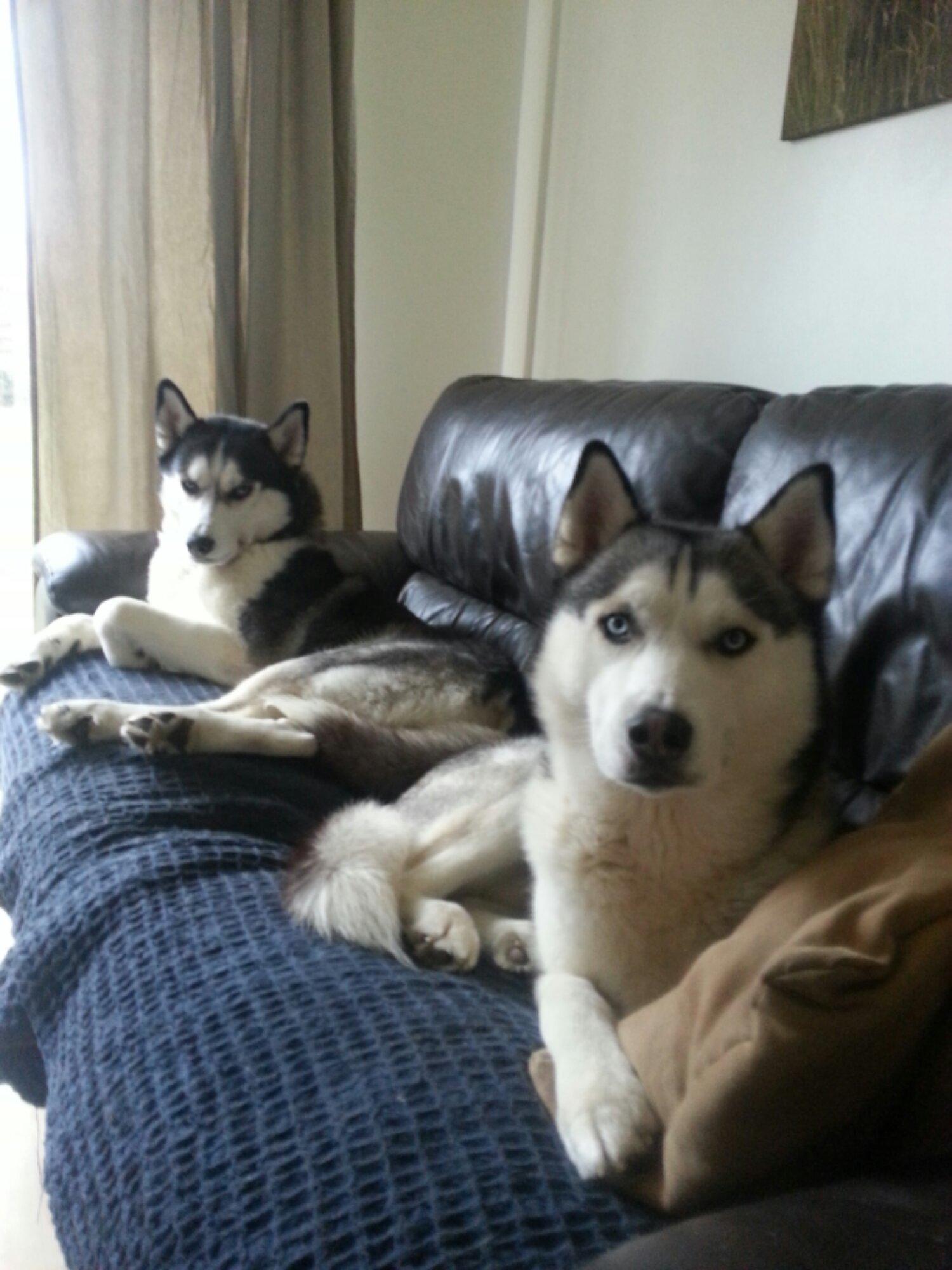 Resultado de imagen para husky sofa